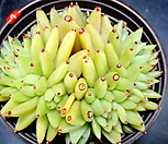 샤치철화7|Echeveria agavoides f.cristata Echeveria