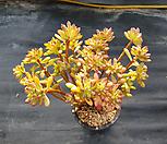 철화풀린 홍치아대품자연군생95|Echeveria macdougallii