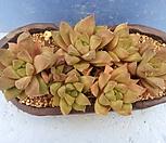 40 하월시아합식|haworthia