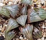 하월시아)원종바디아|haworthia