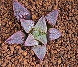 하월시아 Hyb 54|haworthia