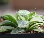 하월시아금(Haworthia variegated)|haworthia