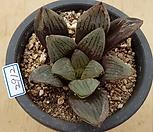 하월시아sp2912|haworthia