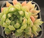하월시아쿠페리 223560|haworthia