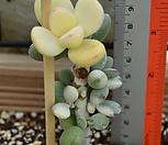 방울복랑금 (뿌리튼튼) Cotyledon orbiculata cv variegated