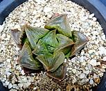 하월시아콤프토니아sp70|haworthia