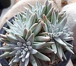 화이트그리니자연 (11두) Dudleya White gnoma(White greenii / White sprite)