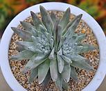 화이트그리니4두(G020) Dudleya White gnoma(White greenii / White sprite)