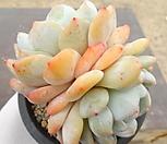 오렌지먼로(대) 18-11|Echeveria Monroe(Orange)