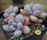 묵은아메치스자연|Graptopetalum amethystinum