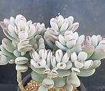 방울복랑대품|Cotyledon orbiculata cv