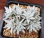 화이트그리니10두_18 Dudleya White gnoma(White greenii / White sprite)