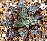 하월시아)바디아픽타|haworthia