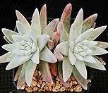 화이트그리니 424-38 Dudleya White gnoma(White greenii / White sprite)