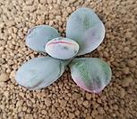 방울복랑금 (커팅 뿌리없어요)|Cotyledon orbiculata cv variegated