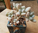 성미인(자연군생)|Pachyphytum oviferum