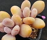 묵은 홍미인|Pachyphytum ovefeum cv. momobijin
