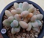 성미인군생(4두)|Pachyphytum oviferum