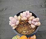 아메치스자연군생57|Graptopetalum amethystinum