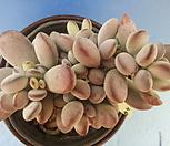 130 방울복랑한몸|Cotyledon orbiculata cv