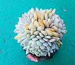 먼로철화 .동그란 수형|Echeveria Monroe