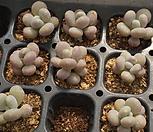 (랜덤50개)월미인小(4月)|Pachyphytum oviferum Tsukibijin