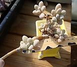 묵은 성미인 8두 컷팅군생|Pachyphytum oviferum