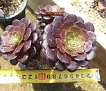 피그미초콜렛(3두컷팅군생)-447|
