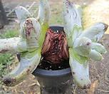 야생파키피덤(실뿌리나왔음)|Dudleya pachyphytum