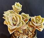 러블리로즈4083|Lovely Rose