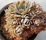 양로철화|Echeveria peacockii subsessilis