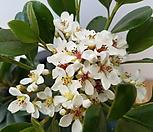 샤린바이[다정큼]- 흰꽃|