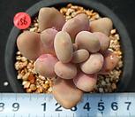 156 월미인|Pachyphytum oviferum Tsukibijin