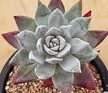 블러쳐스3223|Dudleya farinosa Bluff Lettuce