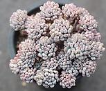 블루빈스 1-1732|Graptopetalum pachyphyllum Bluebean