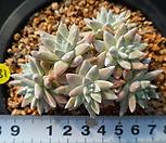 181 화이트그리니|Dudleya White gnoma(White greenii / White sprite)