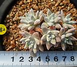 182 화이트그리니|Dudleya White gnoma(White greenii / White sprite)