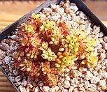 깨알사치철화3 (한몸묵은둥이) X042503|Echeveria agavoides f.cristata Echeveria