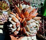 오렌지먼로 한몸 묵은둥이|Echeveria Monroe(Orange)