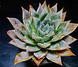 콜로라타브랜티hy86 Echeveria Colorata fma Brandtii