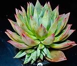 콜로라타브랜티hy44 Echeveria Colorata fma Brandtii