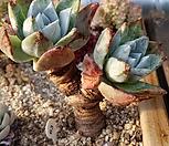 굵은목대 환엽블러프레쳐스63-뿌리무 Dudleya farinosa Bluff Lettuce