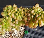 환엽송록철화|Sedum lucidum Obesum