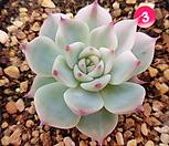 치와와금3 Eeveria chihuahuaensis