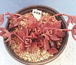222 인디카|Sinocrassula indica