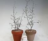 마오리코로키아(소 )이태리토분 완성품 /뉴질랜드 야생화로 인테리어식물로 각광받는 빅아이템 !!!|