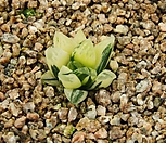하월시아 타이거피그마에금|haworthia