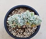 백금황성철화|Echeveria pulvinata