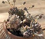 리틀장미금-한몸|Echeveria prolifica