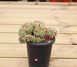 샤치철화83|Echeveria agavoides f.cristata Echeveria